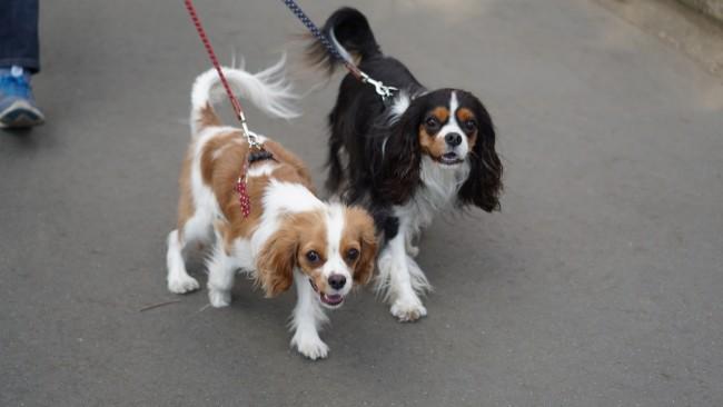 キャバリア キャバリア・キング・チャールズ・スパニエル ブレンハイム トライカラー 散歩する犬