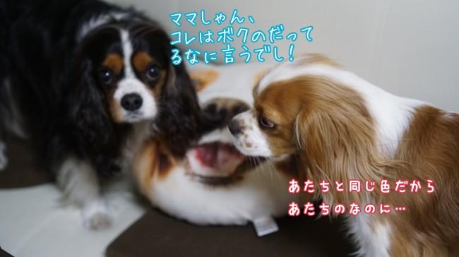 イトーヨーカドー キャバリアクッション