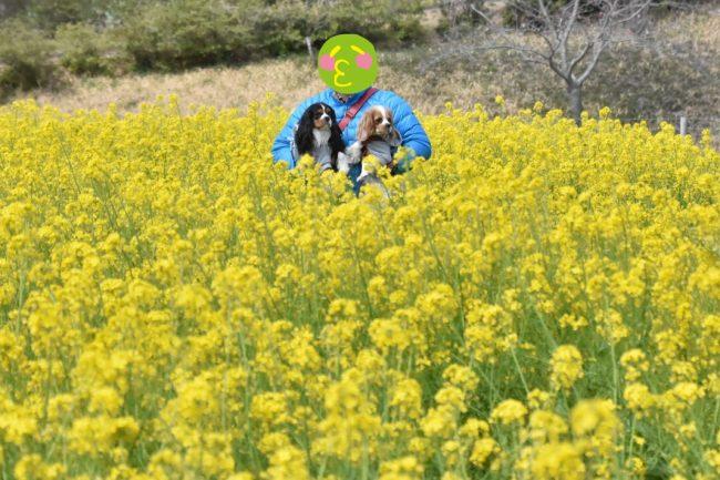 菜の花畑 マザー牧場