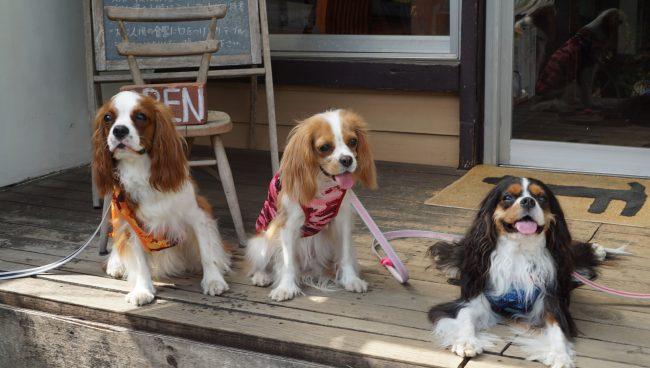 RAIN DOGS レインドッグス ドッグカフェ キャバリア