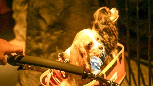 浅間火山博物館 キャバリア