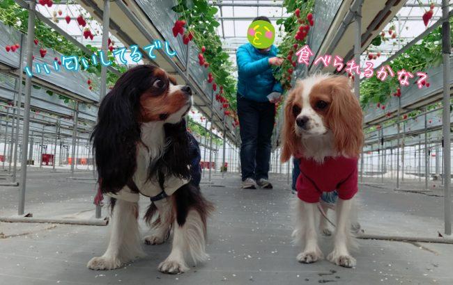 愛犬といちご狩り 中島フィールズ 山梨 キャバリア