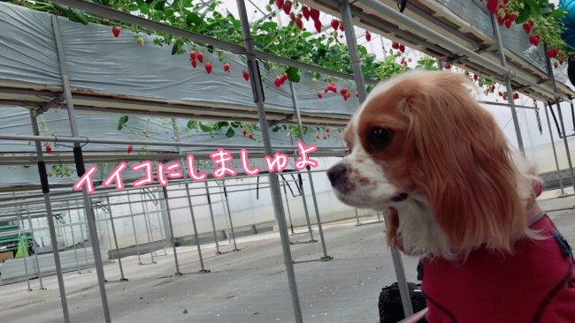 愛犬といちご狩り キャバリア