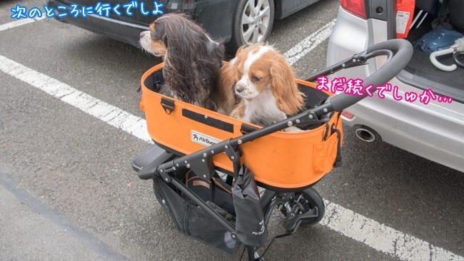すばる:次のところに行くでしよ/るな:まだ続くでしゅか…/那須とりっくあーとぴあ トリックアート迷宮館 犬 キャバリア ペット