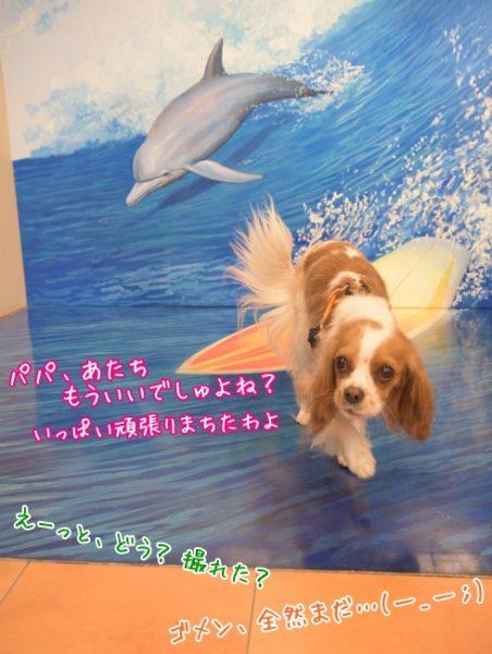 るな:パパ、あたちもういいでしゅよね?いっぱい頑張りまちたわよ/パパ:えーっと、どう?撮れた?/ママ:ゴメン、全然まだ…(一_一;)/那須とりっくあーとぴあ トリックアート迷宮館 犬 キャバリア ペット