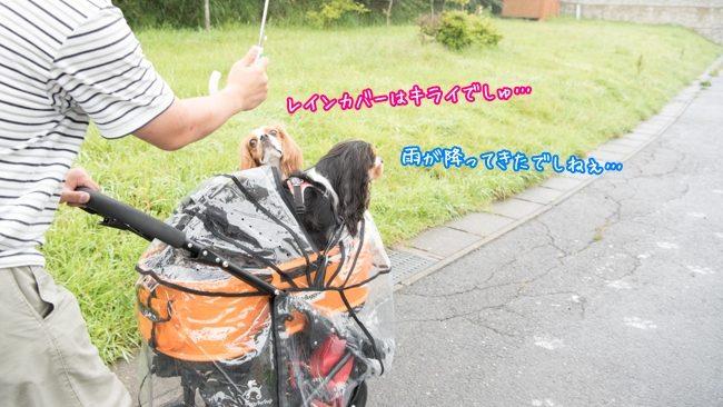 すばる:雨が降ってきたでしねぇ…/るな:レインカバーはキライでしゅ…/那須どうぶつ王国 ペット 犬 キャバリア