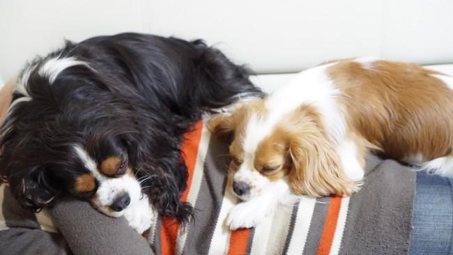 キャバリア キャバリア・キング・チャールズ・スパニエル トライカラー ブレンハイム 寝ている犬 多頭飼い