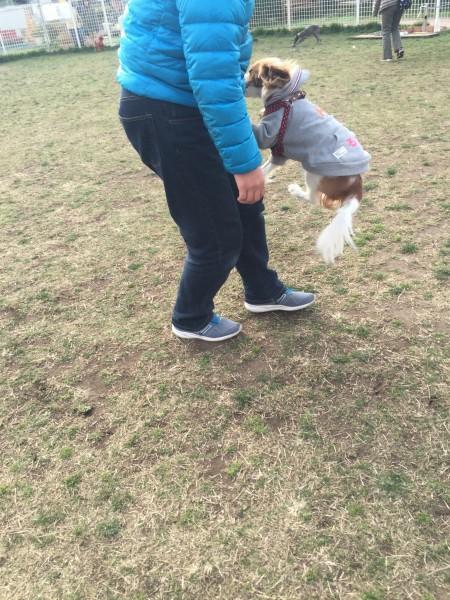 キャバリア ブレンハイム キャバリア・キングチャールズ・スパニエル ジャンプする犬