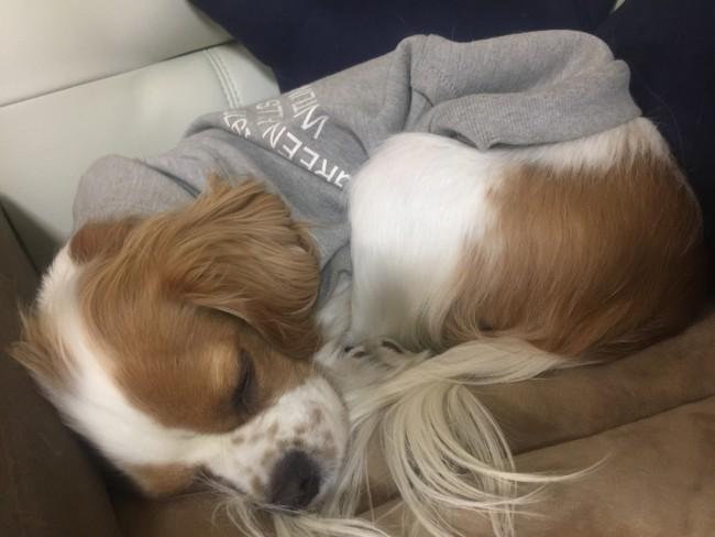 キャバリア ブレンハイム キャバリア・キングチャールズ・スパニエル 丸くなって寝ている犬