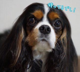 キャバリア トライカラー 黒茶白 ネクタイ 犬のネクタイ