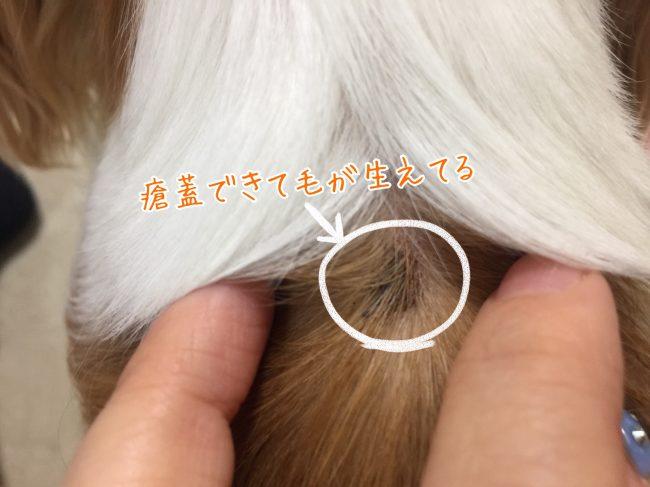 犬 瘡蓋 カサブタ