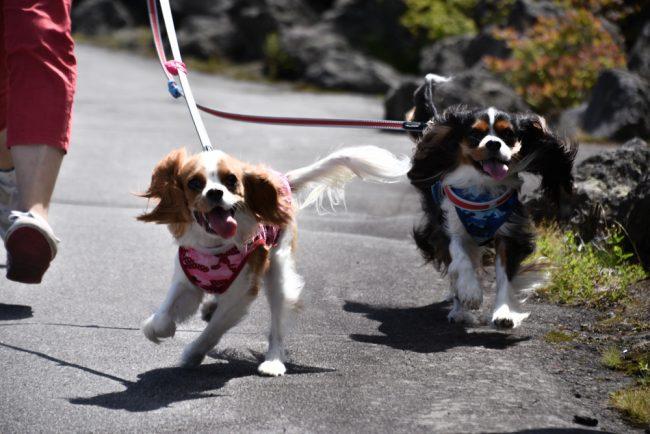 犬連れ軽井沢旅行 鬼押出し園 キャバリア