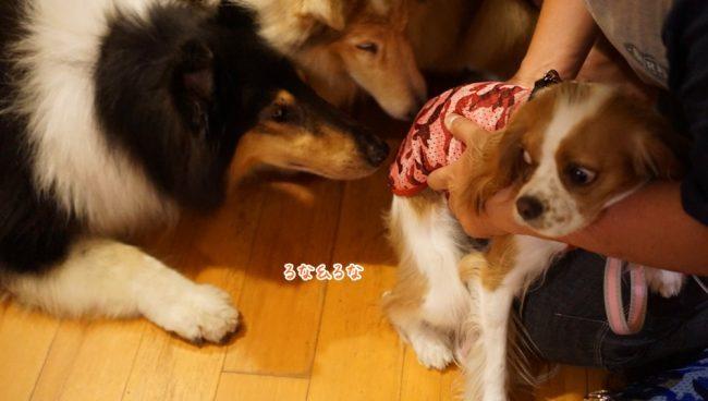 花闊歩 はなかっぽ 北軽井沢 愛犬と泊まれる宿 キャバリア