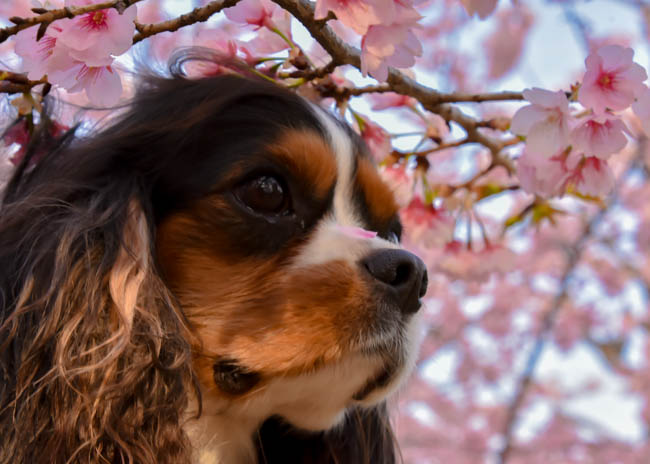 キャバリアと桜