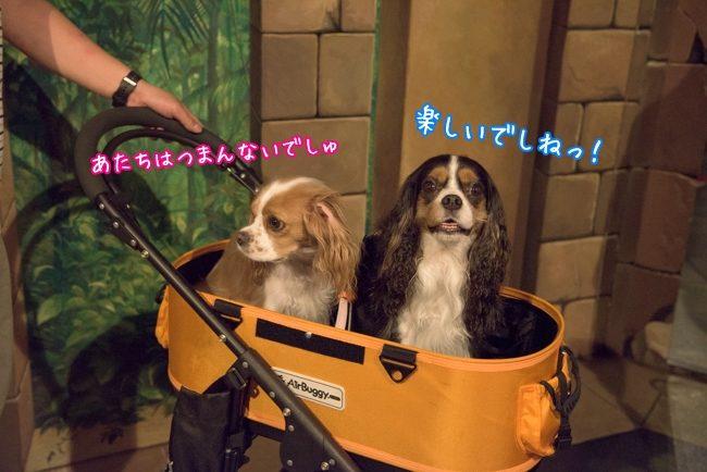 すばる:楽しいでしねっ!/るな:あたちはつまんないでしゅ/那須とりっくあーとぴあ トリックアート迷宮館 犬 キャバリア ペット
