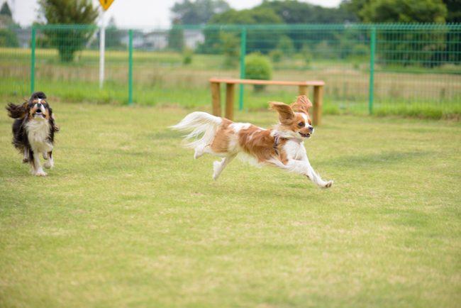 キャバリア 飛行犬