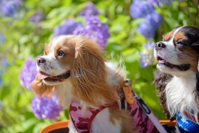 紫陽花とキャバリア