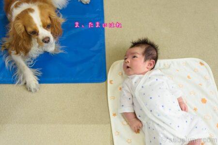 キャバリアブレンハイムと赤ちゃん。るな「ま、たまにはね」