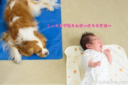 キャバリアブレンハイムと赤ちゃん。るな「こっちまで来られないから大丈夫…」