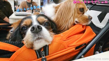 ペットカートに乗るキャバリアブレンハイムとトライカラー。すばる「ボクらの出番は…」るな「終わったようでしゅね」