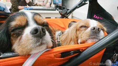 ペットカートで眠るキャバリアトライカラーとブレンハイム