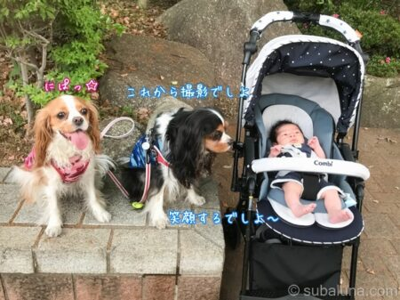 キャバリアトライカラーとブレンハイムとベビーカーに乗った赤ちゃん。すばる「これから撮影でしよ。笑顔するでしよ~」るな「にぱっ☆」
