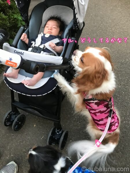 キャバリアブレンハイムとベビーカーに乗った赤ちゃん。るな「アル、どうしてるかな?」