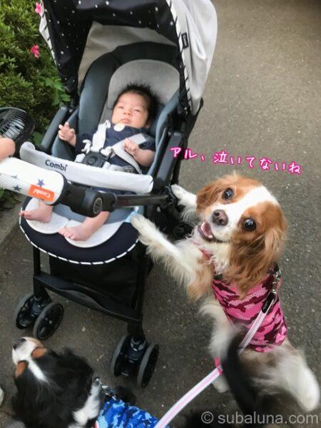 キャバリアブレンハイムとベビーカーに乗った赤ちゃん。るな「アル、泣いてないね」