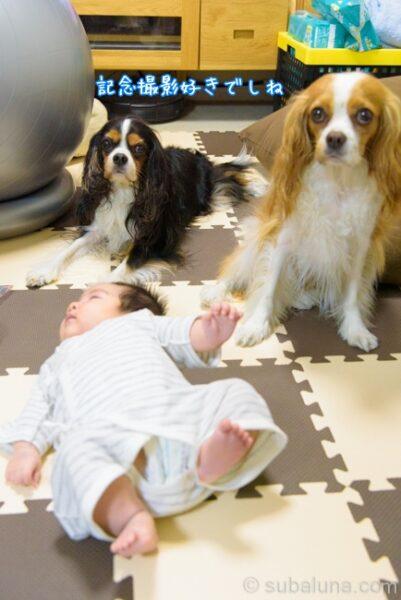 キャバリアブレンハイムとトライカラーと赤ちゃん。すばる「記念撮影好きでしね」