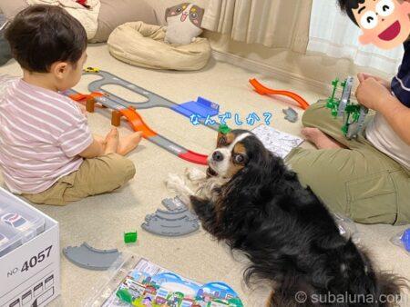 2歳児とキャバリアトライカラー。すばる「なんでしか?」
