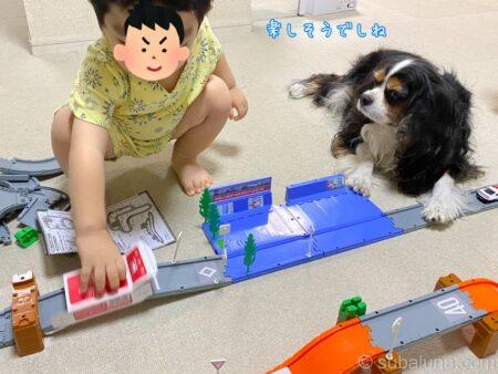 トミカで遊ぶ2歳児とキャバリアトライカラー。すばる「楽しそうでしね」
